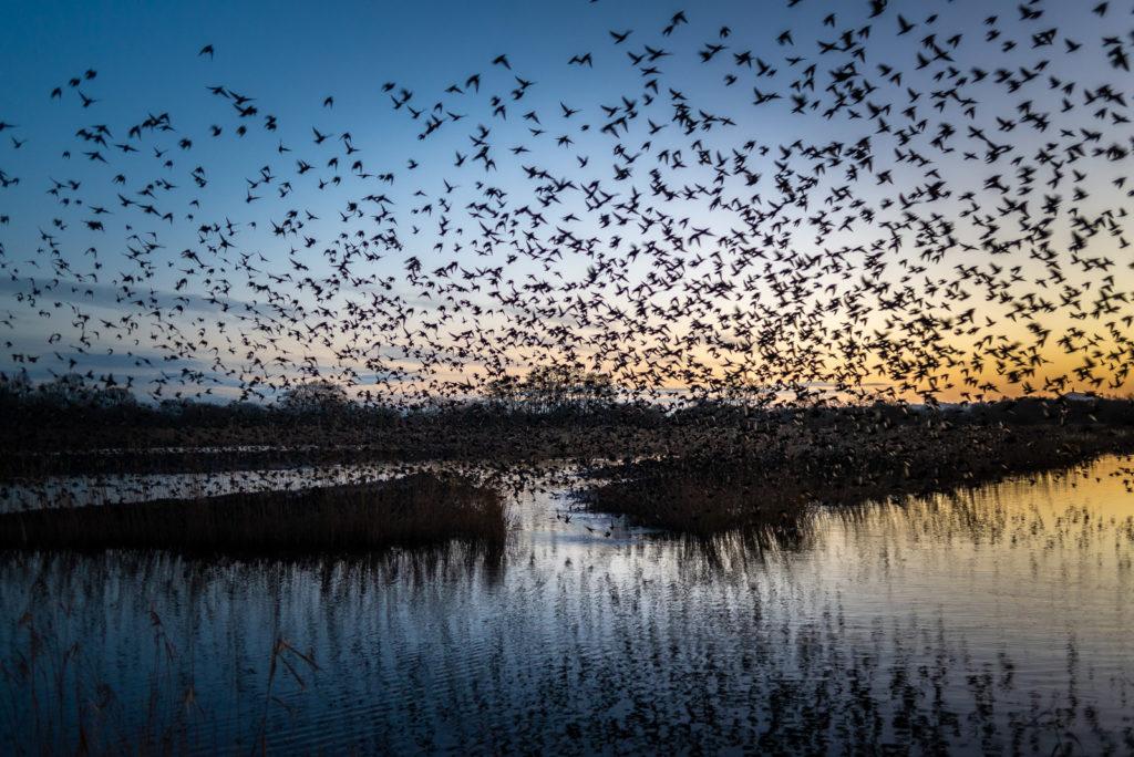 Starlings at Dawn - Waltons Heath, Ham Wall, Somerset, UK. ID 827_8762