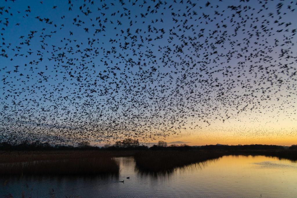 Starlings at Dawn - Waltons Heath, Ham Wall, Somerset, UK. ID 827_8824