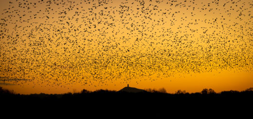 Starlings at Dawn - Waltons Heath, Ham Wall, Somerset, UK. ID 827_8843