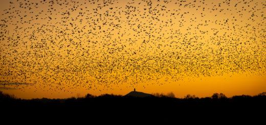 Starlings at Dawn - Waltons Heath, Ham Wall, Somerset, UK. ID 827_8843