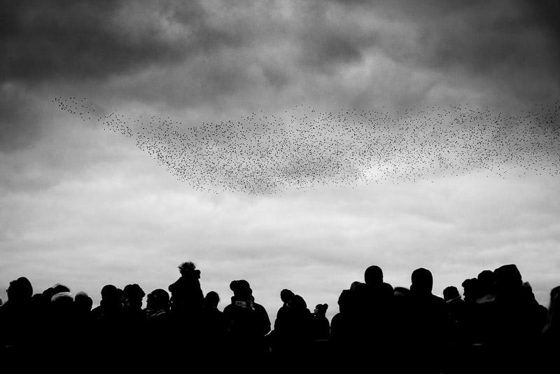 Starling Watching - Ham Wall, Somerset, UK. ID 827_8916