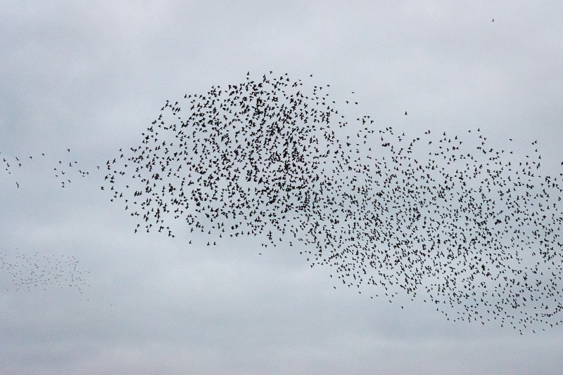 Starlings Murmuration - Waltons Heath, Ham Wall, Somerset, UK. ID 827_8966