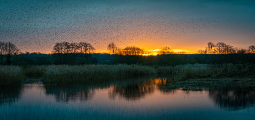 Starlings Murmuration - Waltons Heath, Ham Wall, Somerset, UK. ID 827_9060