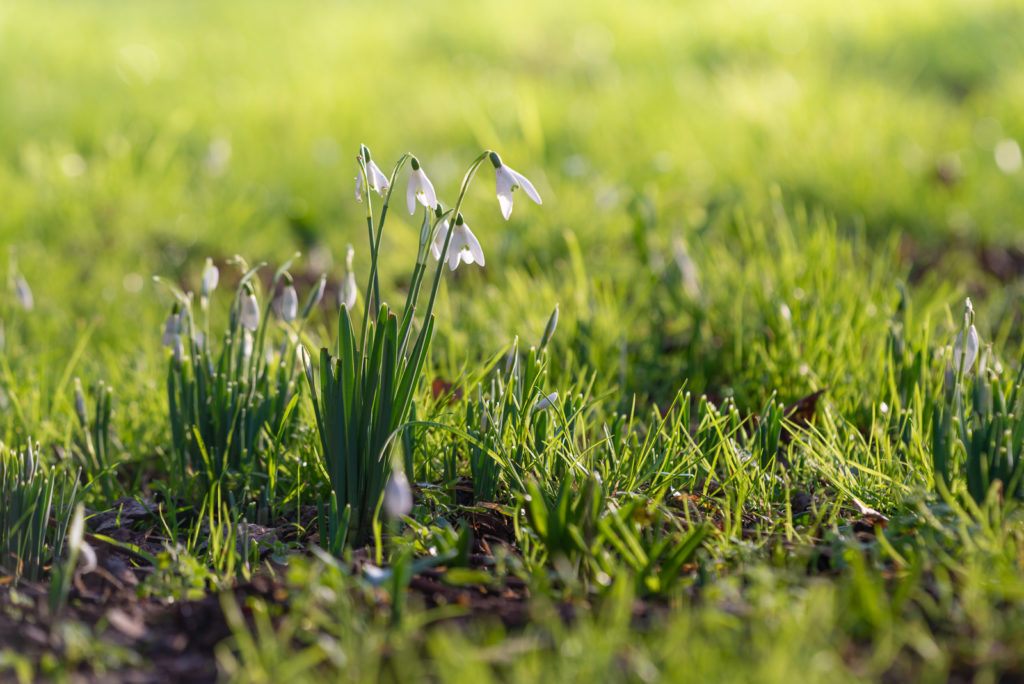 First Snowdrops - Donkey Field, Uphill, North Somerset, UK. ID 827_9352