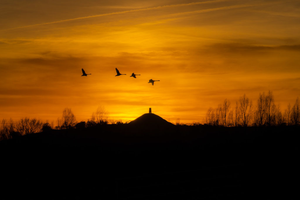 Glastonbury Tor and Swans - From Hearty Moor, Somerset, UK. ID 827_9472
