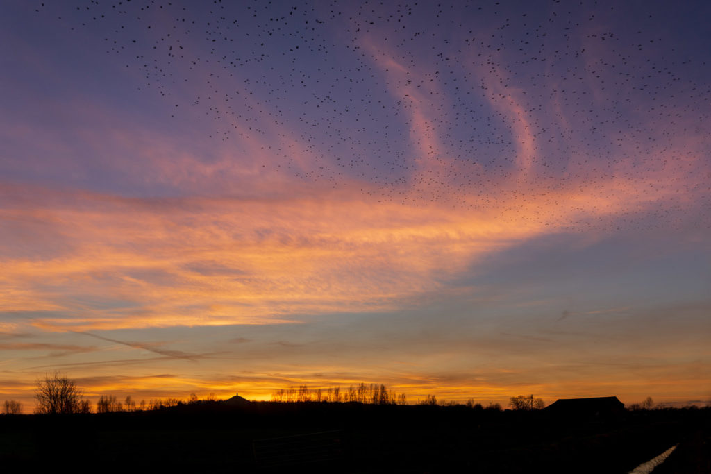 Glastonbury Tor Sunset with Starlings - From Hearty Moor, Somerset, UK. ID 827_9608