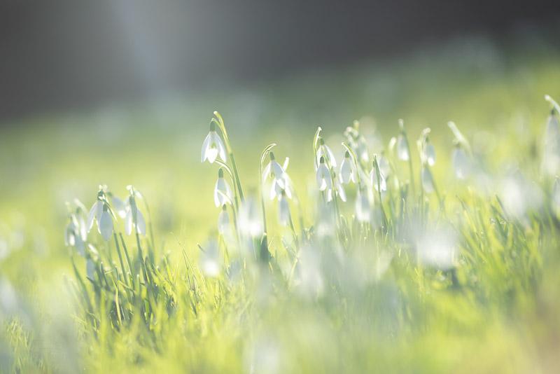 Churchyard Snowdrops - St Michaels Church, Somerset, UK. ID 828_0632