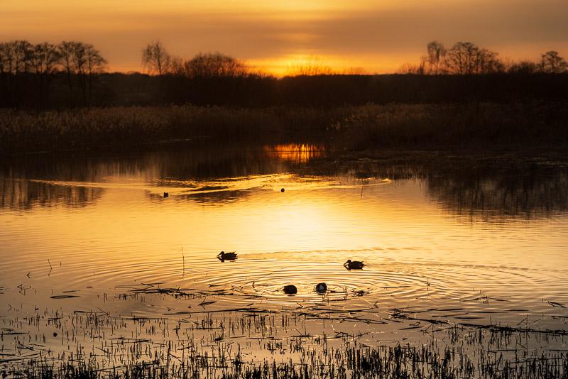Shoveller Ducks at Waltons Heath - Ham Wall, Somerset, UK. ID 828_1130