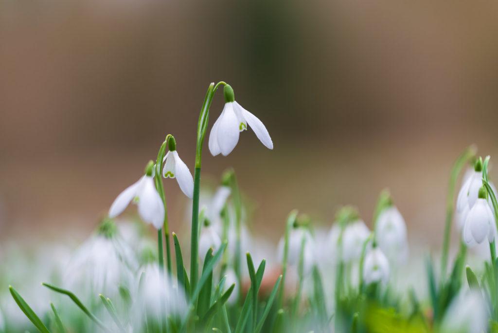 Snowdrops - Mells Common, Somerset, UK. ID 828_1574