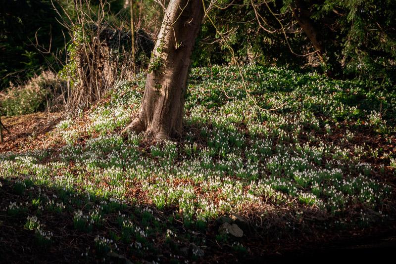 Snowdrops - Nunney, Somerset, UK. ID 828_1661