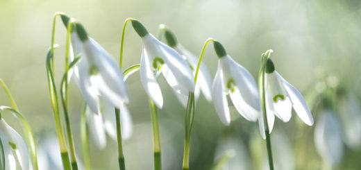 Snowdrops - Nunney, Somerset, UK. ID 828_2072