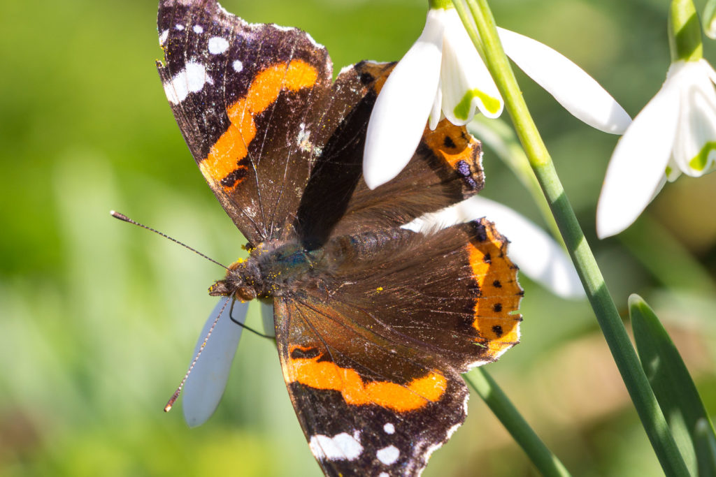 Red Admiral (Vanessa atalanta) - Wells, Somerset, UK. ID 825_2369