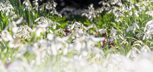 Snowdrops - Holy Trinity Church, Chantry, Somerset, UK. ID IMG_2677