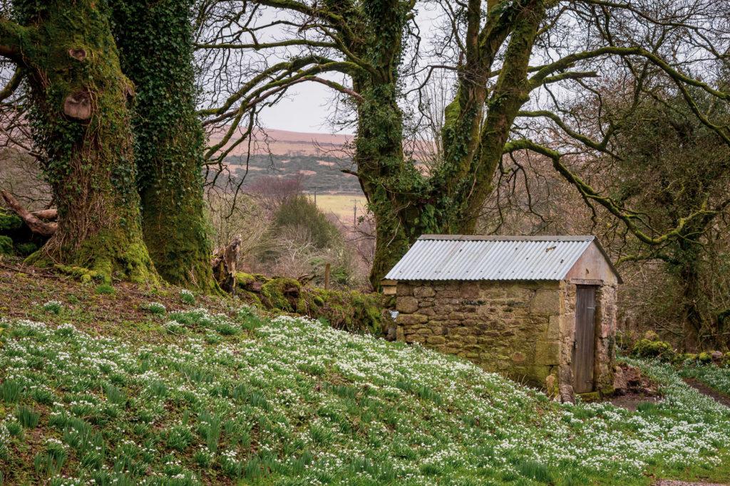 Snowdrops - St Raphaels Chapel, Huccaby, Dartmoor, UK. ID IMG_3651