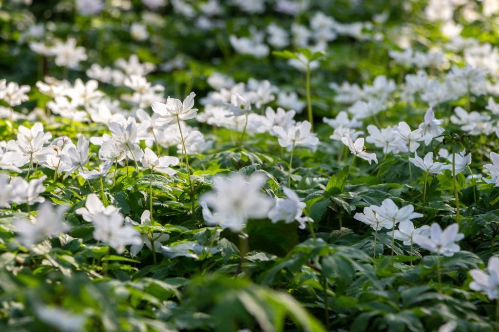 Wood anemone (Anemone nemorosa) - Park Wood, Somerset, UK. ID IMG_5897