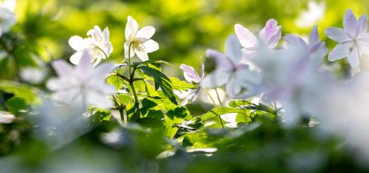 Wood anemone (Anemone nemorosa) - Park Wood, Somerset, UK. ID IMG_5980