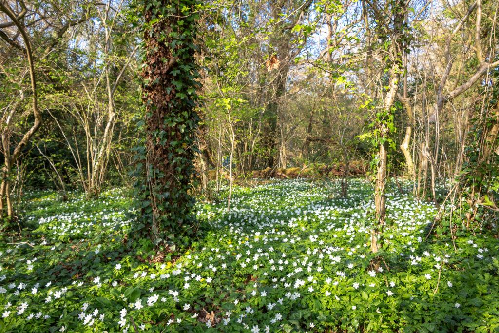 Wood anemone (Anemone nemorosa) - Park Wood, Somerset, UK. ID IMG_6021