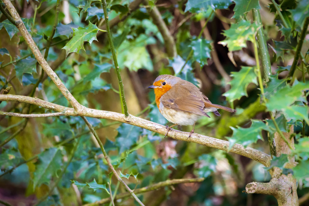 Robin in a Holly Bush - Uphill, North Somerset, UK. ID IMG_6227