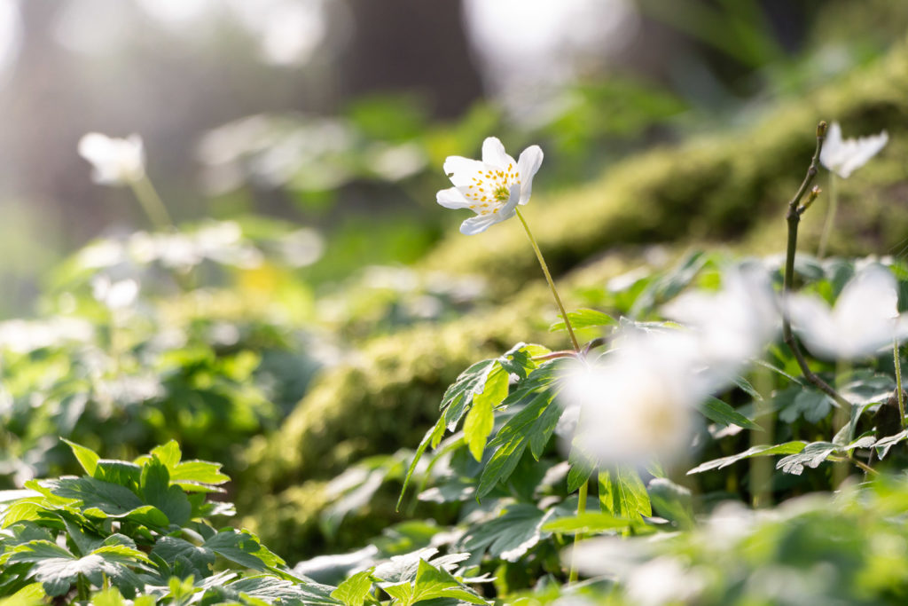 Wood anemone (Anemone nemorosa) - Park Wood, Somerset, UK. ID IMG_6377