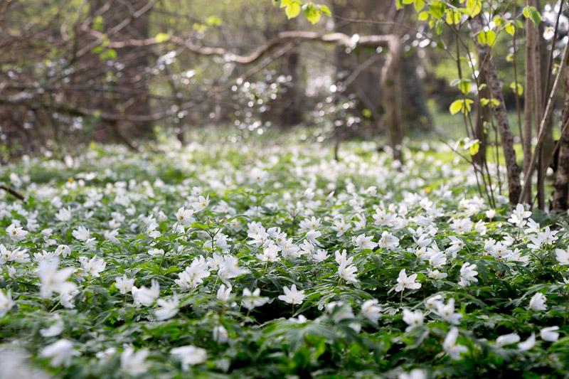 Wood anemone (Anemone nemorosa) - Park Wood, Somerset, UK. ID IMG_6460