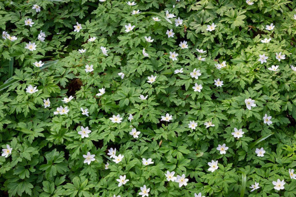 Wood anemone (Anemone nemorosa) - Park Wood, Somerset, UK. ID IMG_6524