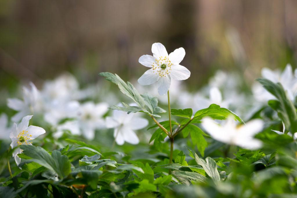 Wood anemone (Anemone nemorosa) - Park Wood, Somerset, UK. ID IMG_6589