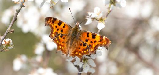 Comma (Polygonia c-album) on Blackthorn (Prunus spinos) - Lynchcombe, Somerset, UK. ID IMG_6765
