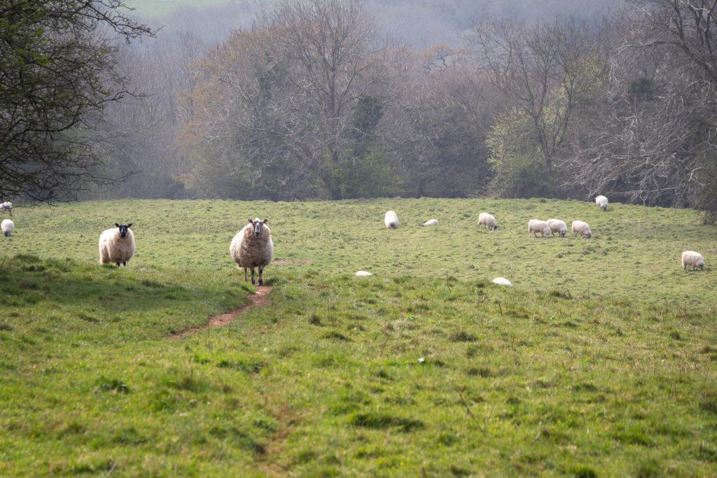 Sheep - Lynchcombe, Somerset, UK. ID IMG_6817