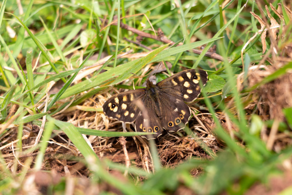 Speckled Wood (Pararge aegeria) - Lynchcombe, Somerset, UK. ID IMG_6849