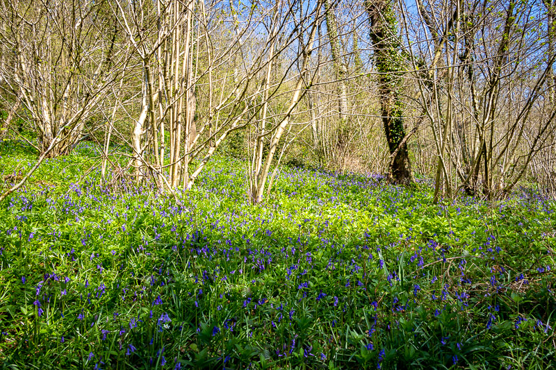 Kings Castle Wood - Nr Wells, Somerset, UK. ID IMG_7230