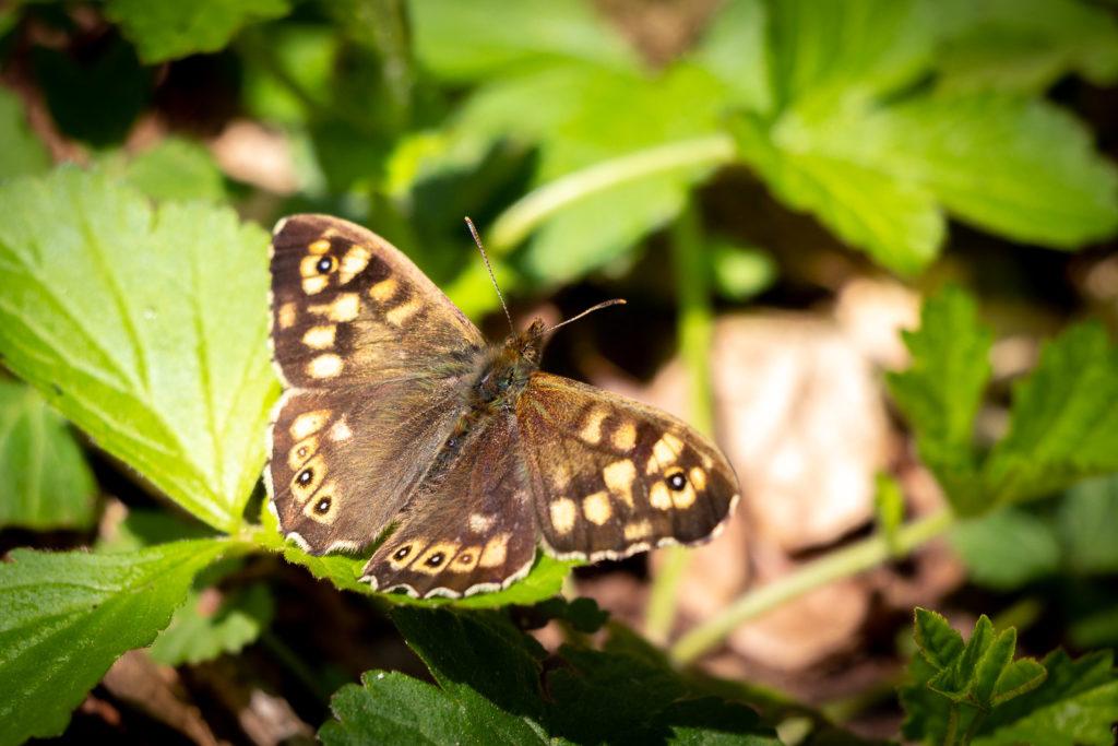 Speckled Wood (Pararge aegeria) - Kings Castle Wood, Somerset, UK. ID IMG_7347
