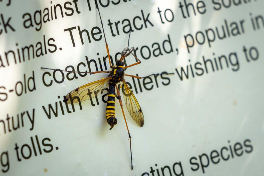 Comb-horn Cranefly (Ctenophora flaveolata) - Kings Castle Wood, Somerset, UK. ID IMG_7414