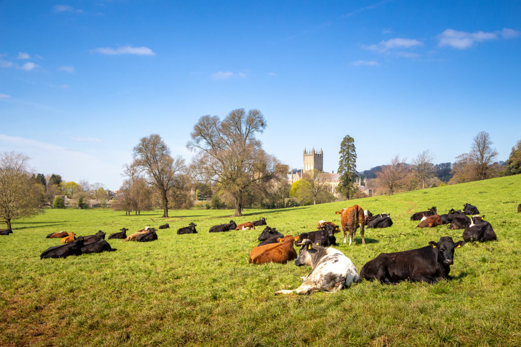 Cathedral and Cows - Palace Fields, Wells, Somerset, UK. ID IMG_7486
