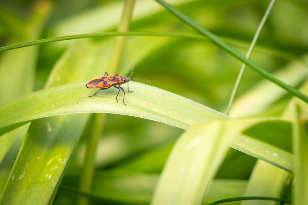 Cinnamon Bug (Corizus hyoscyami) - Kingsdon, Somerset, UK. ID IMG_7696