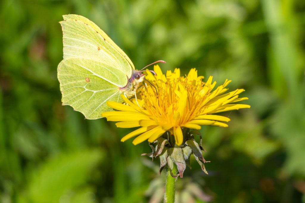 Brimstone (Gonepteryx rhamni) - Shepton Mallet, Somerset, UK. ID IMG_9069