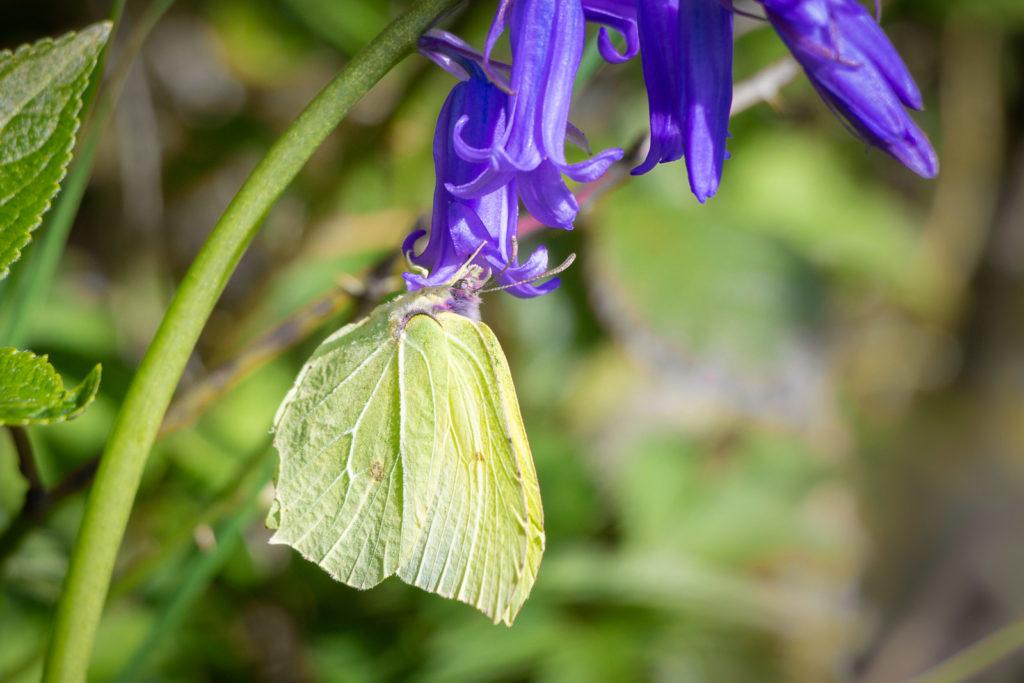 Brimstone (Gonepteryx rhamni) - Duncliffe Wood, UK. ID IMG_8994