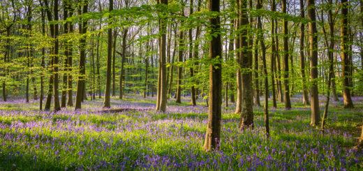 Duncliffe Wood - Dorset, UK. ID IMG_9167