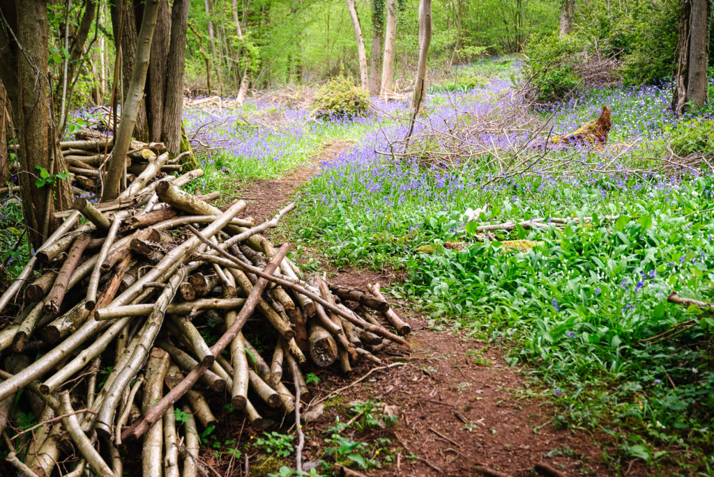 Bluebells in the clearing - Kings Castle Wood, Somerset, UK. ID JB3_6322