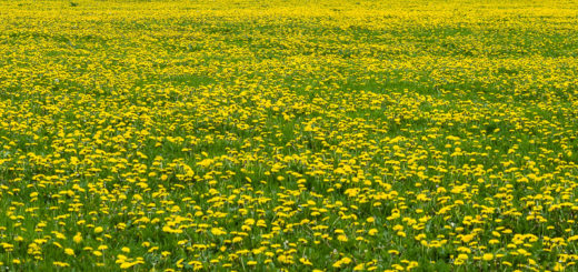 Dandelion Panorama - Dearleap, Somerset, UK. ID dandelion_field. [Blended panorama from 7 separate images]