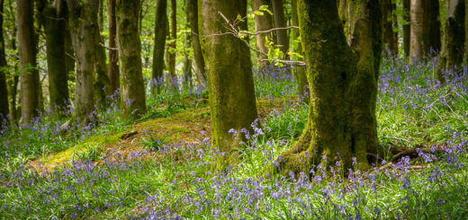 Woodland Bluebells - Beacon Hill Woods, Somerset, UK. ID IMG_0681
