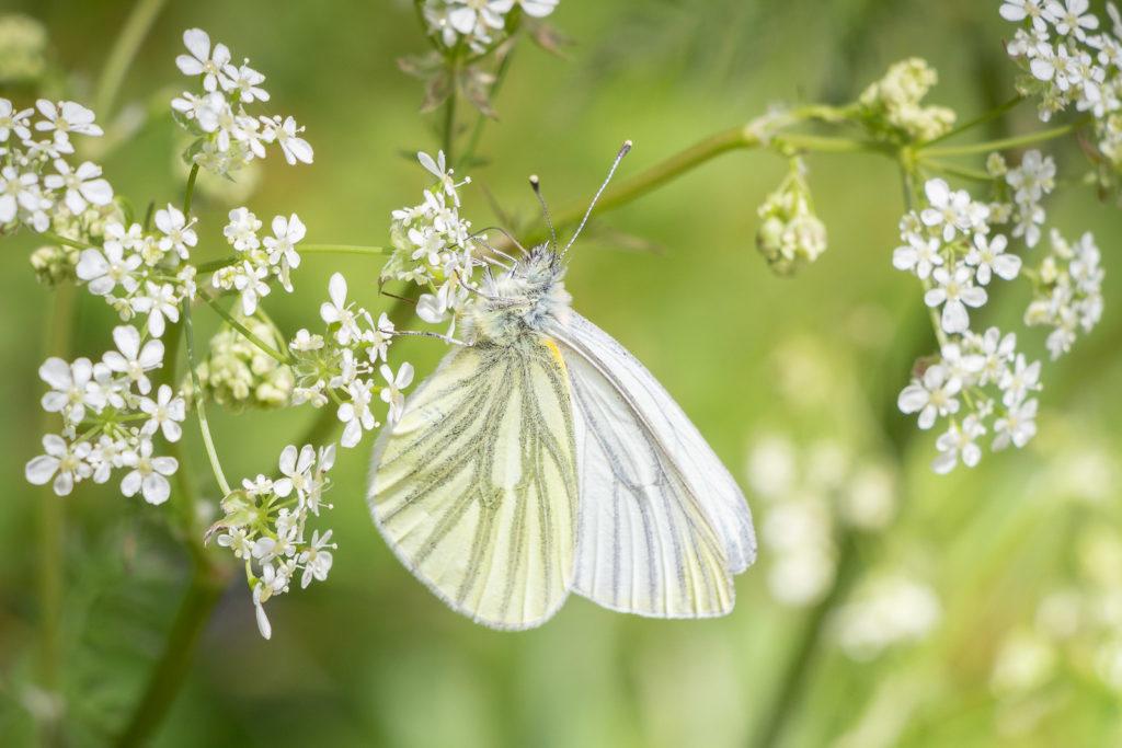 Green-viened white (Pieris napi) - Biddle Combe, Somerset, UK. ID IMG_0412