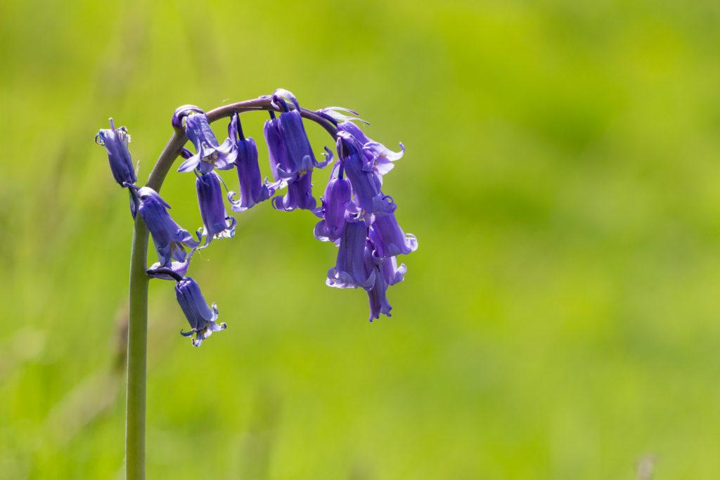 One of the last bluebells - Lynchcombe, Somerset, UK. IMG_9028
