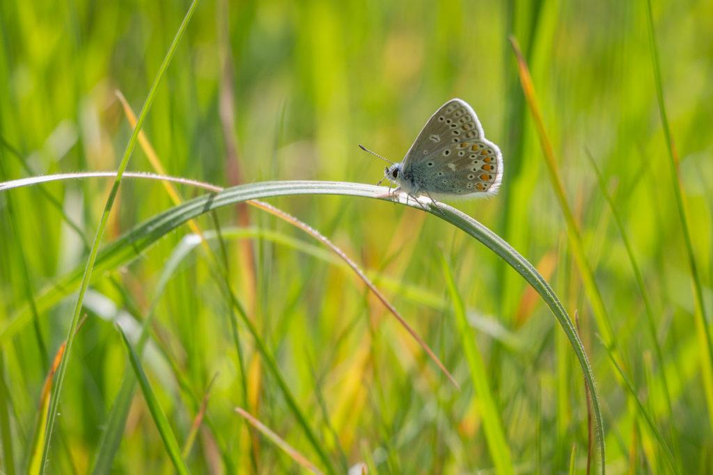 Common Blue (Polyommatus icarus) - Lynchcombe, Somerset, UK. ID IMG_9091