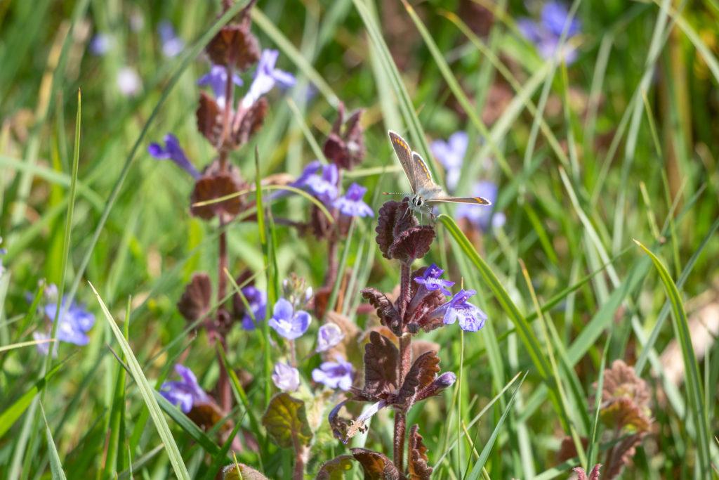 Brown Argus (Aricia agestis) - Lynchcombe, Somerset, UK. ID IMG_9107