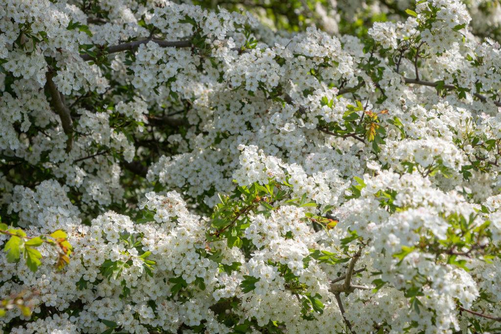 Hawthorn Blossom - Lynchcombe, Somerset, UK. ID IMG_9204