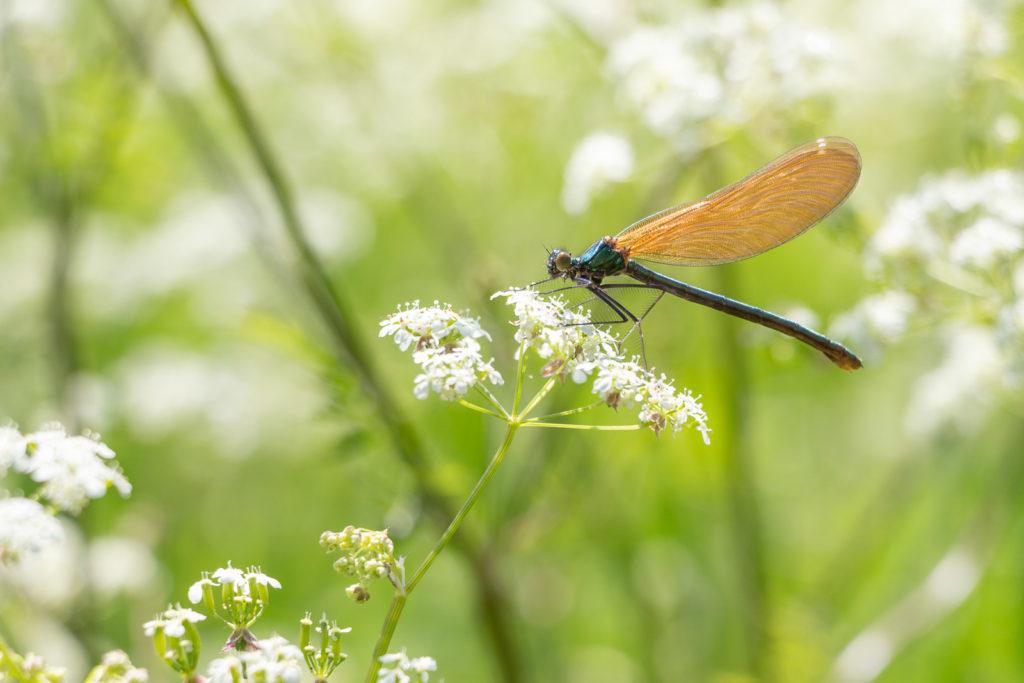 Beautiful Demoiselle (Calopteryx virgo) - The weir, Lydford-on-Fosse, Somerset, UK. ID IMG_0236