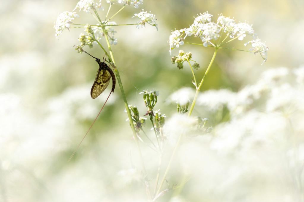 Mayfly - The weir, Lydford-on-Fosse, Somerset, UK. ID IMG_0282