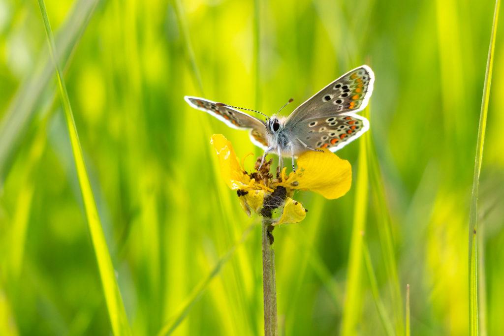 Brown Argus (Aricia agestis) - Perry Mead, Somerset, UK. ID IMG_9528