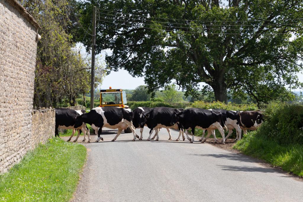 Cattle Crossing - Lottisham, Somerset, UK. ID IMG_0532