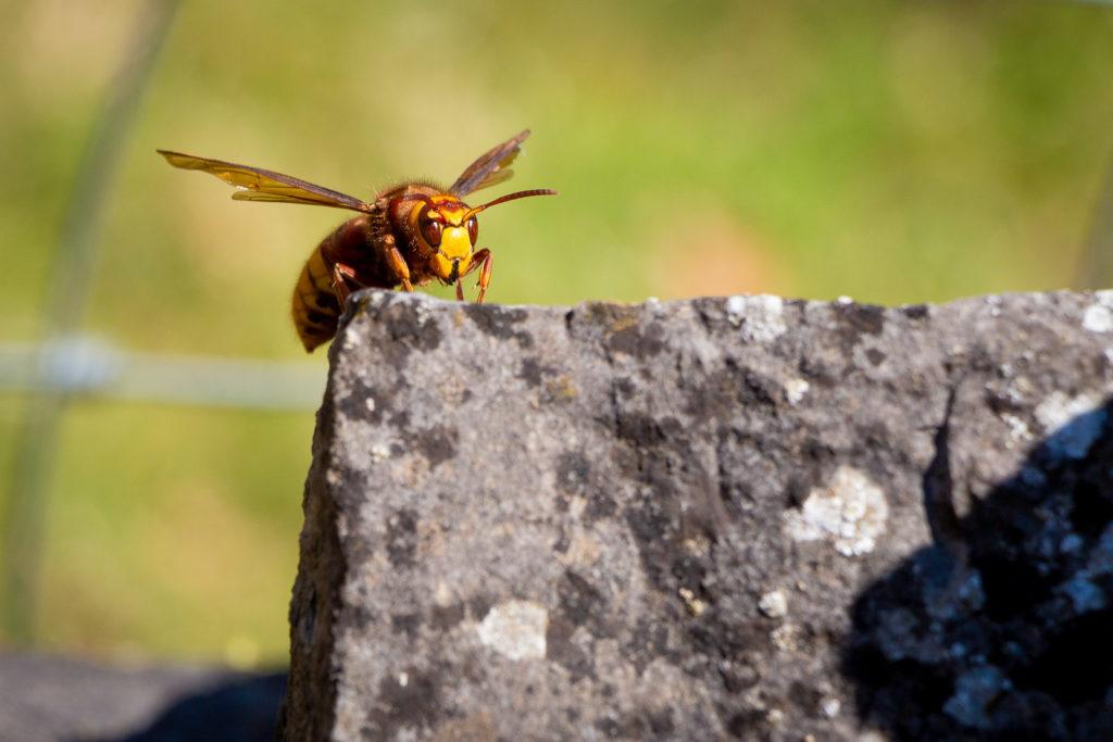 European hornet (Vespa crabro) - Barton St David, Somerset, UK. ID IMG_0945